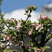 Apple blossoms (Malus)