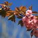 Japanese Cherry (Japanische Blütenkirsche, Prunus serrulata)