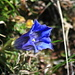 About 900 meters higher spring just arrived, Clusius Gentian (Gentiana clusii)