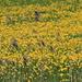 Thousands of dandelions