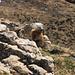 Das erste Murmeltier des Jahres! Freundlich posiert das pelzige Tier auf seiner kleinen Felsbastion am Fidisberg.