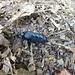 Un Méloé... un insecte spectaculaire