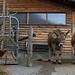 Kühe und Hennen bei Valaina