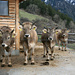 Kühe bei Valaina. A remarquer, le traitement de beauté pour les deux vaches de droite (correcteur des cornes) :-)