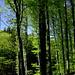 Lichte Buchenwälder im Frühlingslaub