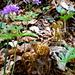 Gemeiner Waldfarn (Athyrium filix-femina) mit Fingerblättrige Zahnwurz (Cardamine pentaphyllos)