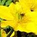 Sumpf-Dotterblume (Caltha palustris)