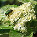 Diesmal nicht wolliger Schneeball, sondern Echter Mehlbeerbaum (Sorbus aria)