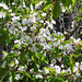 Blühende Kirschbäume....