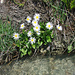 Alpenmasslieb (Aster bellidiastrumi)