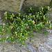 Blüht auch in den Felsen: Buchsblättriges Kreuzblatt (Polygala chamaebuxus)