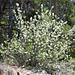 Bei Choruderri: Felsenbirne, auch Felsenmispel genannt (Amelanchier ovalis)