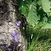 Glockenblumen am Waldrand