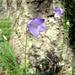 Glockenblumen am Waldrand 2