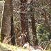 Gemse im Wald