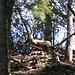 eine weitere Gemse im Wald