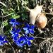 Spring Gentian (Frühlings-Enzian, Gentiana verna) and a Burgundy snail