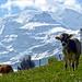 Blüemlisalp!<br />Zwar noch keine Sommernacht und Alpenrosen hat es auch noch keine. Zu jeder Jahreszeit ein Berg, der Emotionen weckt.