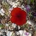 Roter Mohn..gehört doch auch zu Südfrankreich..