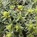 Erinnert irgendwie an Edelweiss...kennt jemand den Namen dieser Pflanze?