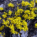 gelbe Blumen.. (-;
