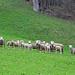 Wehrhafte Schafherde am Fuss der Grat-Ostwand
