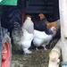 Hier fühlt sich Huhn wohl!