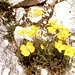 Gelber Mohn im Valle de Gardeccia am Rande eines ausgetrockneten Bachbetts