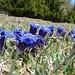 noch mehr Enziane.. der Frühling kommt auch im Engadin