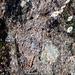 Tessiner Idylle: Mauerblümchen und Eidechse