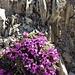 Wer kennt das Blüemli? Ist es Alpen-Mannschild?