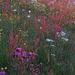 Blumenwiese in den ersten Sonnenstrahlen.