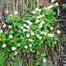 An einer feuchten Stelle wächst das Alpenmasslieb (Aster Bellidiastrum).