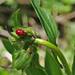 Unterwegs sehen wir auffällig viele Türkenbundlilien mit Blütenknospen. Das Lilienböckchen tut sich daran gütlich.