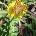 Auf einer Löwenzahnblüte präsentiert sich ein Braunauge-Weibchen.