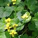 Und natürlich auch das Gelbe Veilchen (Viola biflora).