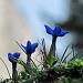 Frühlingsenzian begleitet uns auf dem Weg nach oben