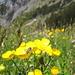 Eine Sumpfdotterblume ist es nicht, sondern ein Berg-Hahnenfuss, was auch zum Gelände besser passt;-); Danke [u laponia41]