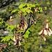 Blühender Bergahorn (Acer pseudoplatanus) mit Früchten aus dem letzten Jahr und neuen Blätter.