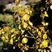 Zitter-Pappel (Populus tremula) welche von einem Schädling befallen zu sein scheint.