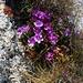 Blütenpracht am Wegesrand an der Ostflanke vom Sparrhorn.<br /><br />Behaarte Primel (Primula hirsuta).