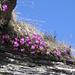 Primula Hirsuta,Primulaceae