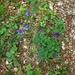 zweierlei Akelei?<br /><br />Die Blätter der blauen schienen ganzrandiger und dunkler, als die der violetten blühenden Pflanze.<br /><br />Werde heute Abend noch ein besseres Foto reinposten.