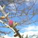 Fiore di larice