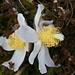 ein Blumendoppel