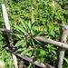 schützende Hölzer um den zu blühen beginnenden Türkenbund im Tubetal