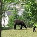 Ad Andermatt incontriamo un...? Pecora o tapiro?