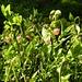 Hier gibt's im Sommer jede Menge Heidelbeeren
