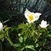 """Narzissenblütiges Windröschen """"anemone narcissiflora"""""""