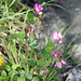 Eine seltene Pflanze an der Suone: der rundblättrige Hauhechel (Ononis rotundifolia)